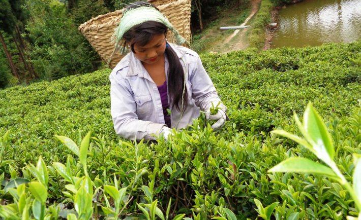 नेपालबाट वार्षिक सवा तीन अर्बको चिया निर्यात