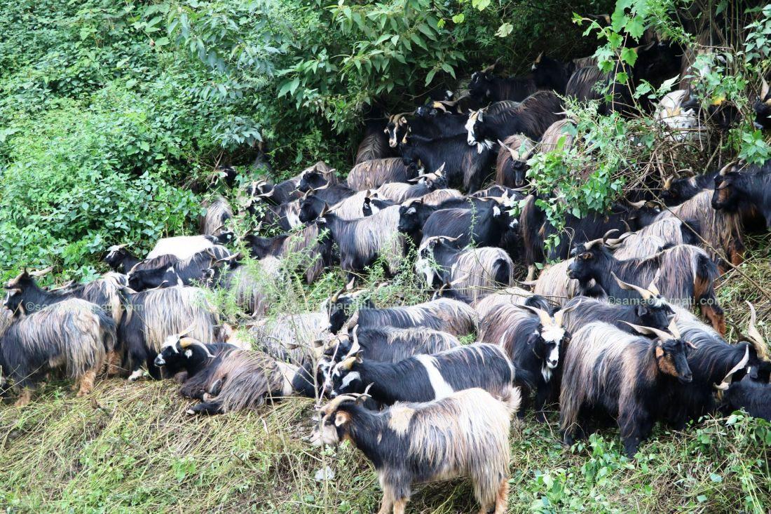 पोखरामा ३० हजारको संख्यामा भेडाच्यांग्रा भित्रिँदै