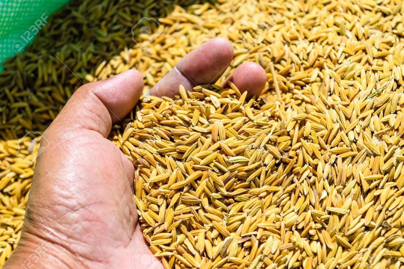 धानको  मूल्य नपाउँदा किसान चिन्तित