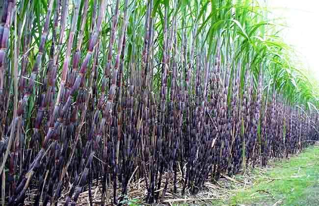 सरकार र उखु किसानबीच सम्झौताः माघ ७ भित्रै भुक्तानी