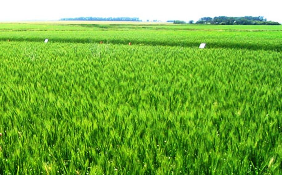 नहरमा पानी नआउँदा ४० हजार हेक्टरको गहुँ खेती प्रभावित
