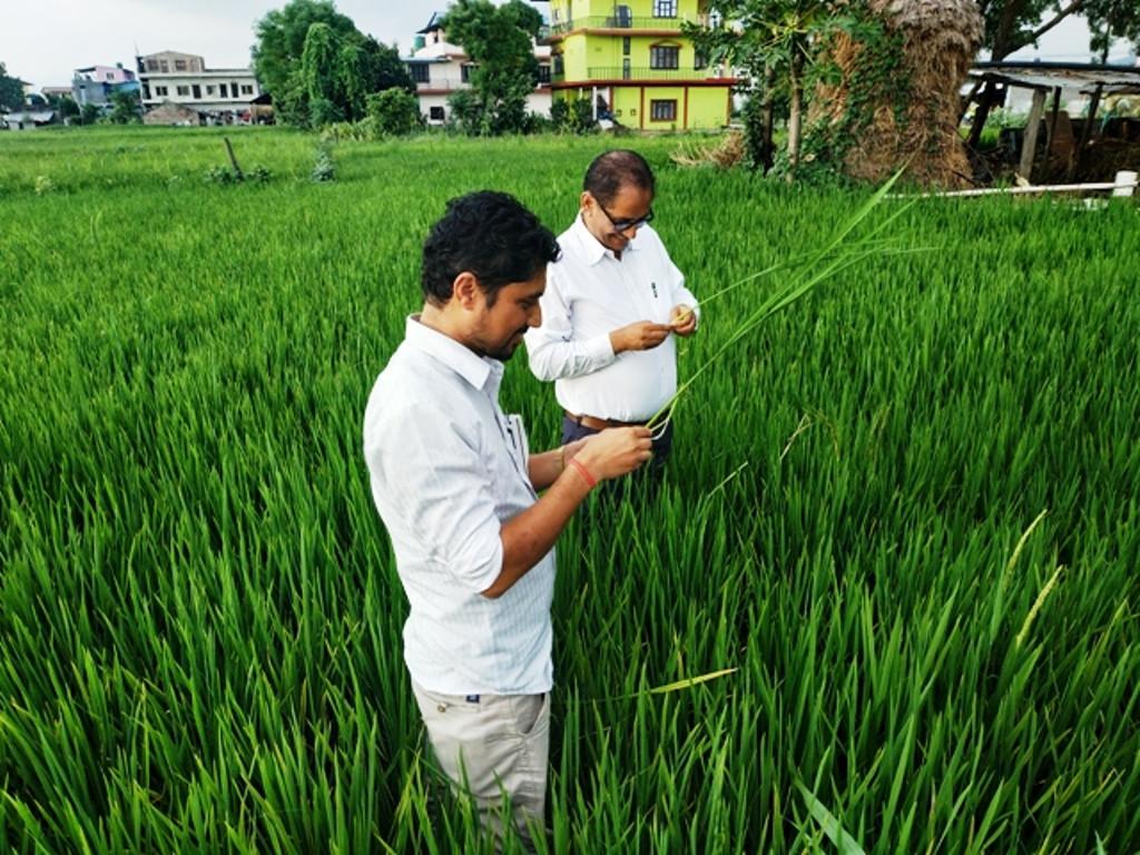 गरिमा धान लगाएका किसानले क्षतिपूर्तिका लागि मुद्दा लड्नुपर्ने