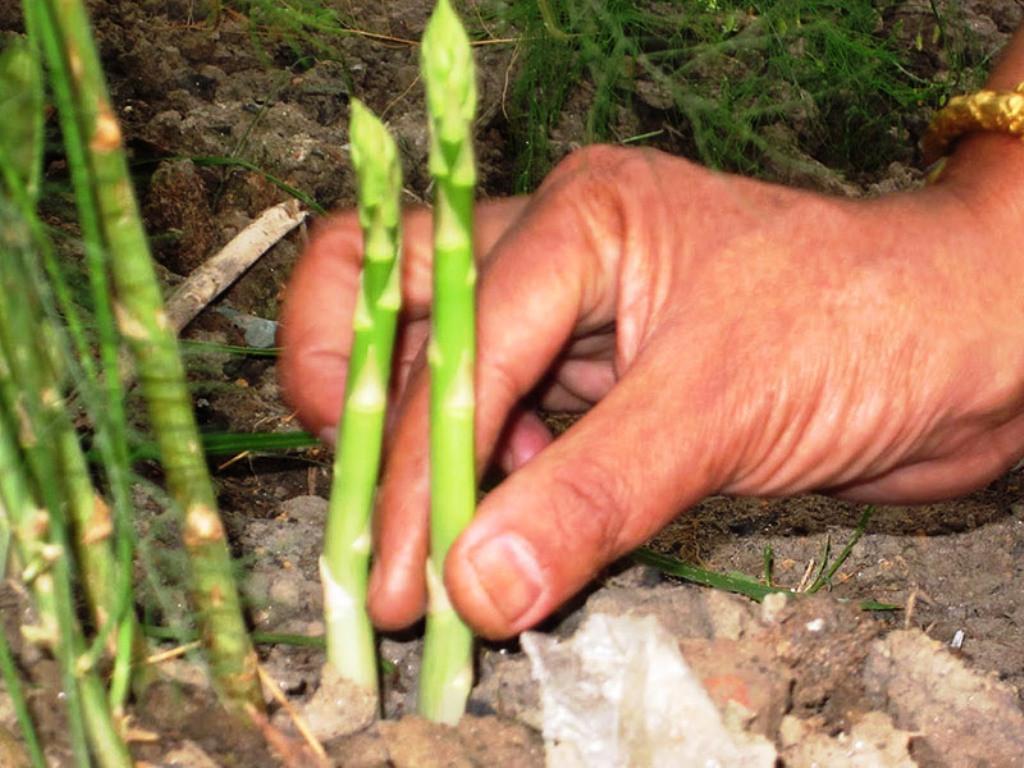 कुरिलो खेतीमा कृषकको आकर्षण