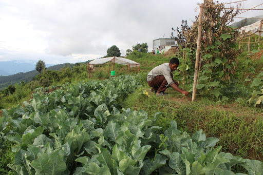 युवा तरकारी खेतीमा रमाउँदै युवा : बारीमै बिक्री