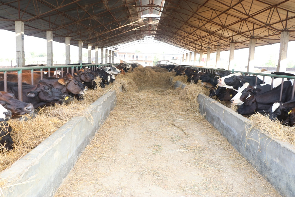 दूध बिक्री घटेपछि परिकार बनाउन थाले किसान
