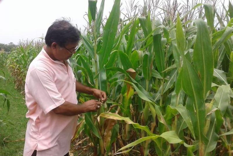 मकैमा अमेरिकी फौजी कीराको प्रकोप, किसान चिन्तित