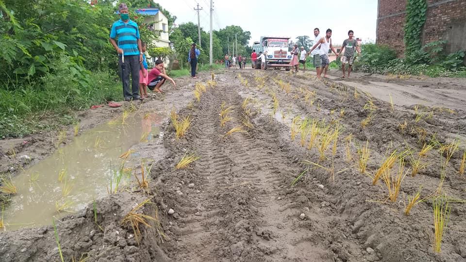 कृषिमन्त्री भुसालको गृहनगरमा स्थानीयले रोपे सडकमै धान